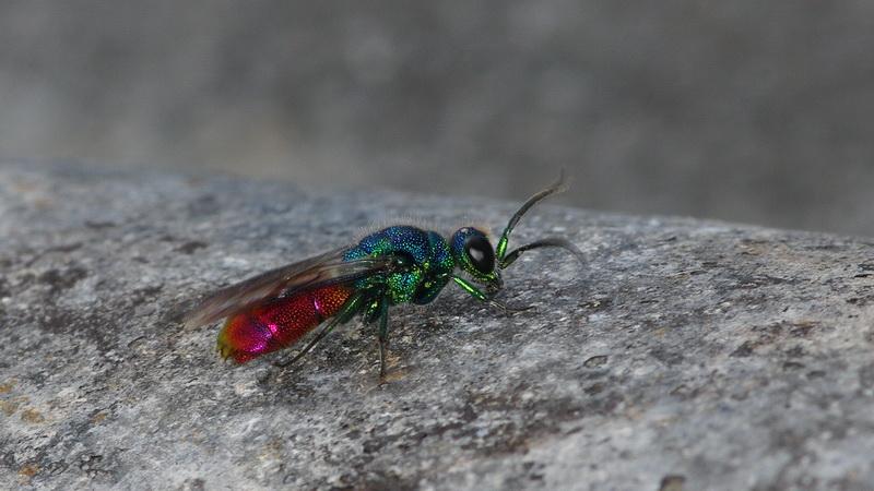 Curieux insectes de chez nous Bebete19a02