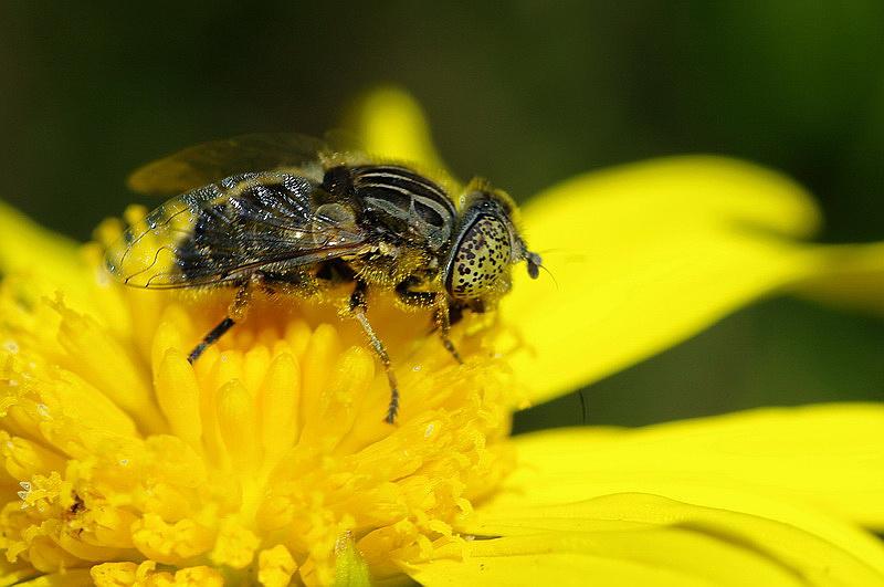 Curieux insectes de chez nous Eristalinus-sepulchralis2