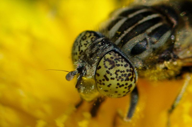 Curieux insectes de chez nous Eristalinus-sepulchralis3