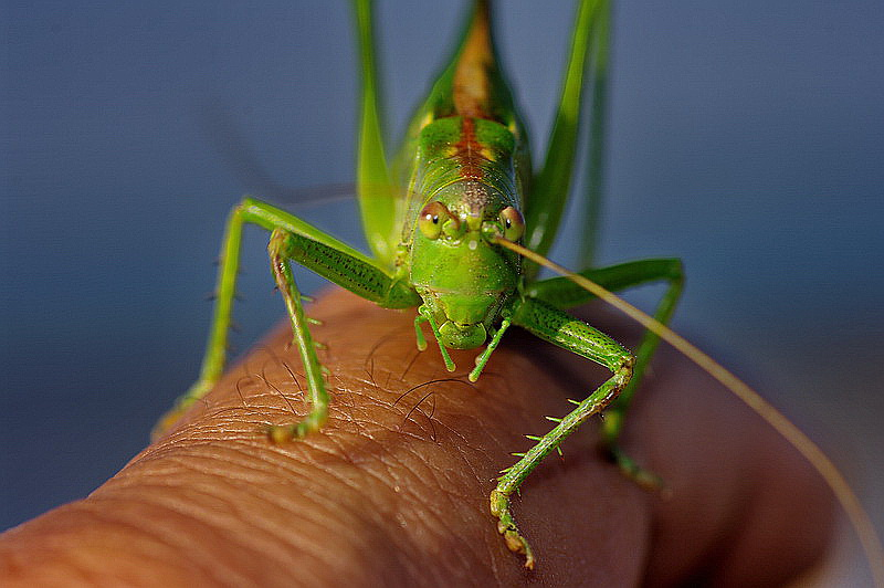 Curieux insectes de chez nous Sauterelle04