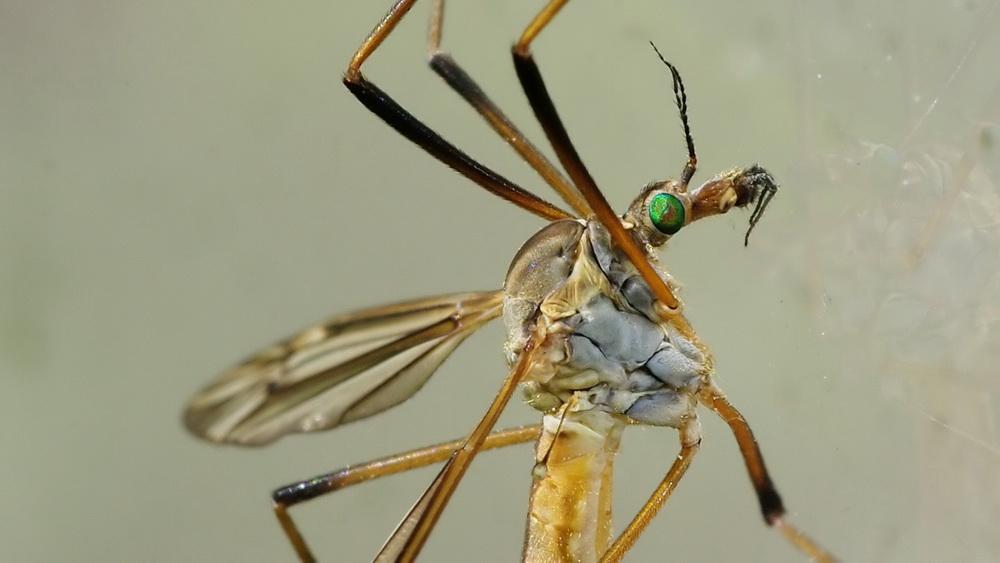 Curieux insectes de chez nous Tipule02