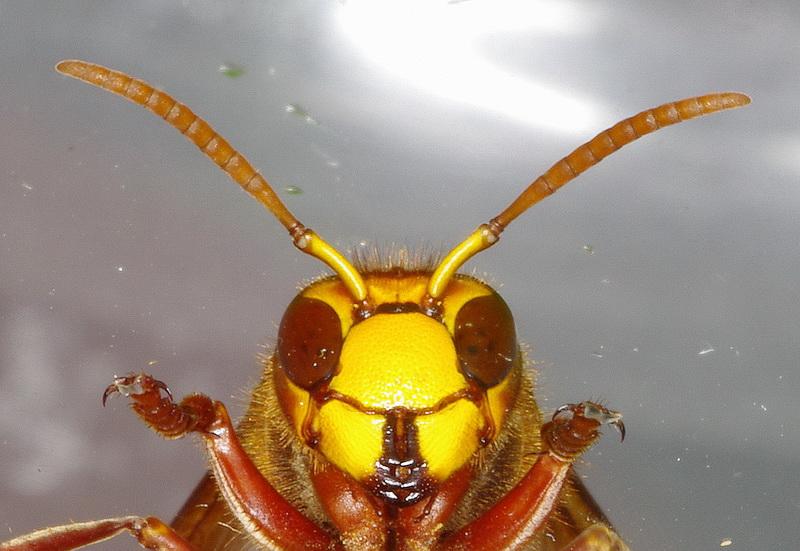 Curieux insectes de chez nous Frelon5