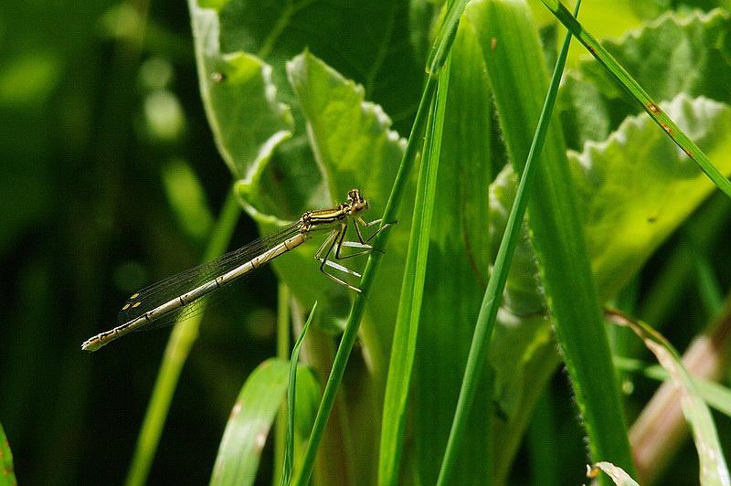 Curieux insectes de chez nous Agrionpaille