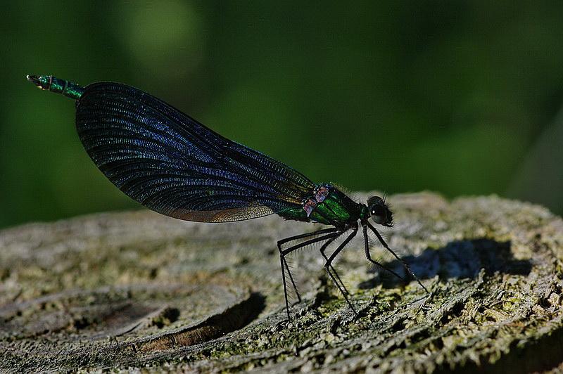 Curieux insectes de chez nous Agrionvert