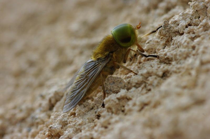 Curieux insectes de chez nous Taon01