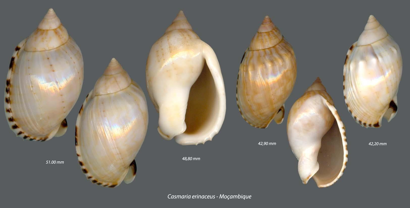 Casmaria erinaceus - (Linnaeus, 1758)  5220