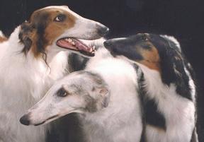 Ruski hrt - borzoj (Barzaia) Trio