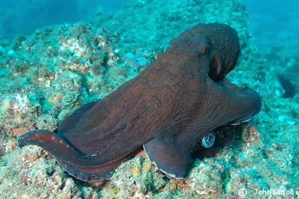 Hobotnica (Octopus cyanea) OctopusCyanea0311a