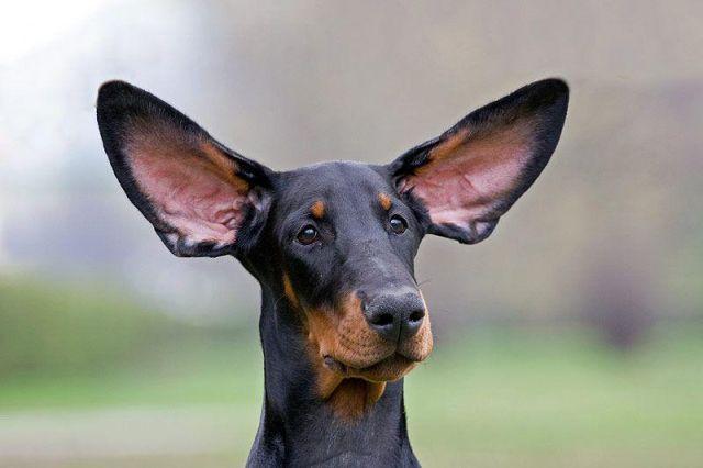 ...Зачем собакам обрезают хвосты и уши? Gyvunas-010