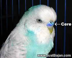 طيور الزينة Male
