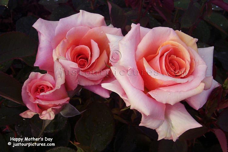 محمد الشريف يكتب: انها عمرى ... انها.............. Mother%27s-day-roses