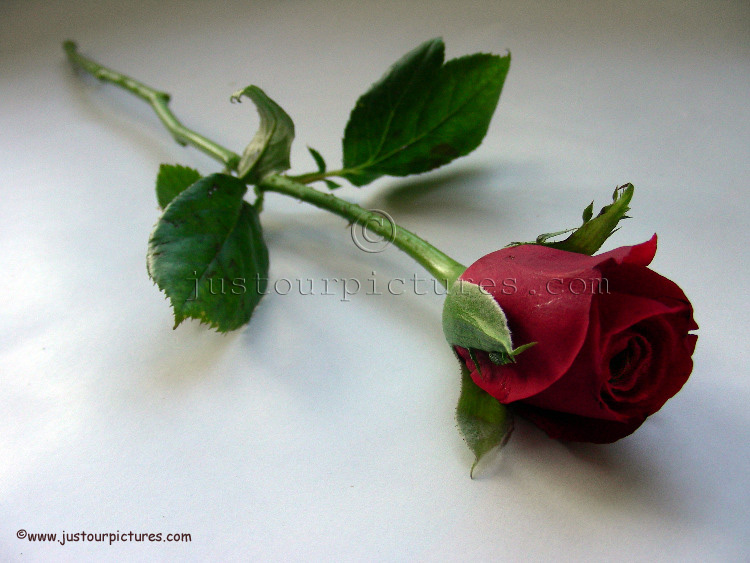 Trendafila Red-rose-bud-on-stem