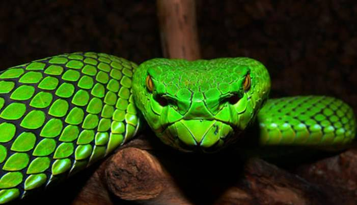 This is the creation of Allah: The Green Snake 471141