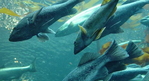 H καταναλωση ψαριων αποτρέπει την απώλεια μνήμης 7585823333