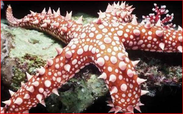 Αυτη εινα η Δημιουργια του Αλλαχ: Ο Αστεριας δοξαζει τον Αλλαχ!! STAR-FISH