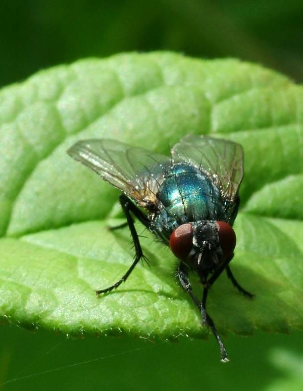 عجائب الحشرات: حقائق تدعو للإيمان Fly_wonder