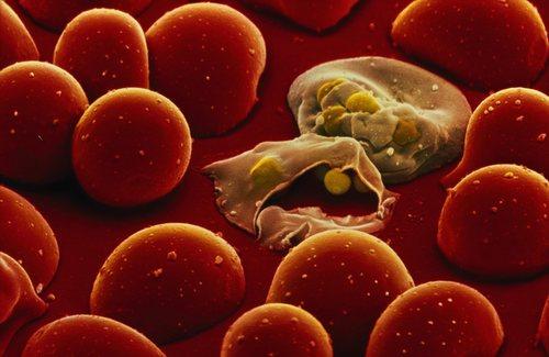 البعوضة: هي القاتل الأول في العالم!! Mosquitoes%20-002