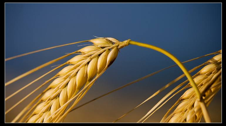 Μερικά πλεονεκτήματα του  πιτουρου  (φλοιου) του σιταριού Wheat_01