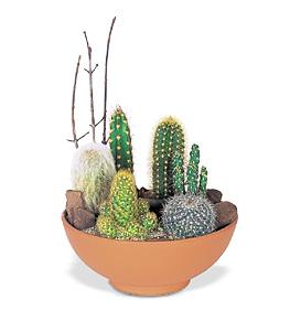 Sve o Baštama i Cveću !!! Kako-gajiti-kaktuse