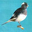 BORDER kuşu Border_master