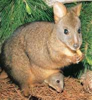 un animal à découvrir par blucat (19juillet)trouvé par ajonc Sm-species-red-bellied-tasmanian-pademelon