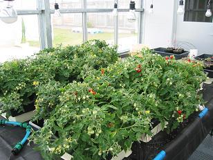 ملف كامل عن زراعة الطماطم  Pot6