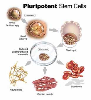 மாதவிலக்கு இரத்தத்தின் மருத்துவ குணம் Stem_cells
