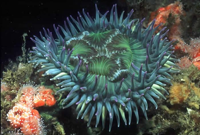 عجائب خلق الله فى البحر Anemone