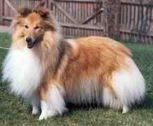 Šetlandski ovčar P.ShetlandSheepdog