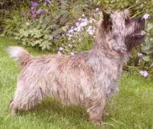 Cairn terrier Ter.Cairn