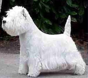 West Highland White Terrier Ter.WestHighlandWhite