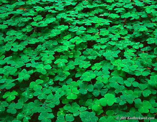 Wild Edible Plants: Cure Cancer, Depression, And High Blood Pressure (Video). Clover
