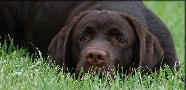 Labrador Retriver Labrador_retriever_california