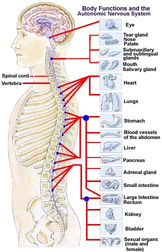 الطب الشعبى    الحجامة \  الكى  *  القصد   ( ملف كامل ) Auto-nervous-system2