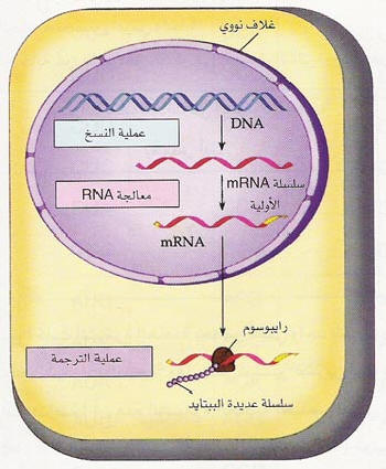 السلسلة التعليمية في علم الأحياء Shape25