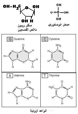 """دراسة الخبر الوراثي""""د3""""ج1"""" BASEAZOTE"""