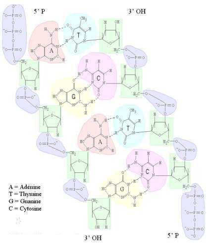 """دراسة الخبر الوراثي""""د3""""ج1"""" Adnantipara"""