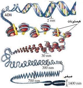 """دراسة الخبر الوراثي""""د3""""ج1"""" Adnchromo"""
