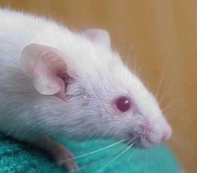 """دراسة الخبر الوراثي """"د4""""ج1"""" Albinos"""