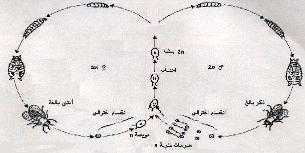 مفهوم دورة النمو والدورة الصبغية Cycle_droso.