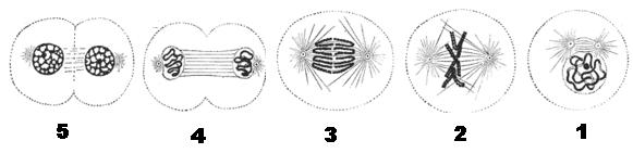 "دراسة الخبر الوراثي""د2"" Mitoanimal"