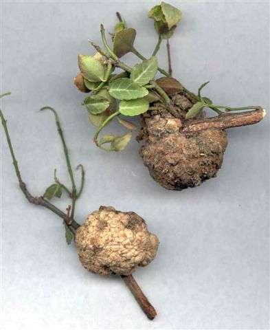 التوالد عند النباتات Pest146