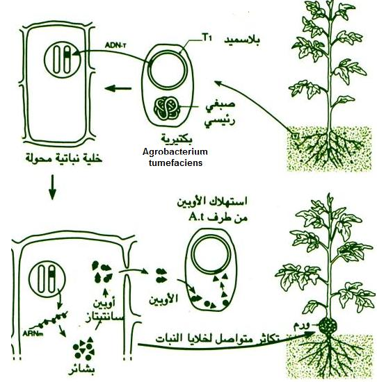 التوالد عند النباتات Transg