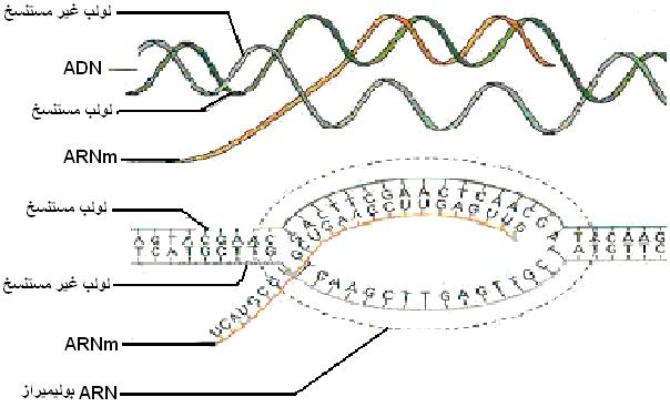 """دراسة الخبر الوراثي """"د4""""ج1"""" Adnarnm"""
