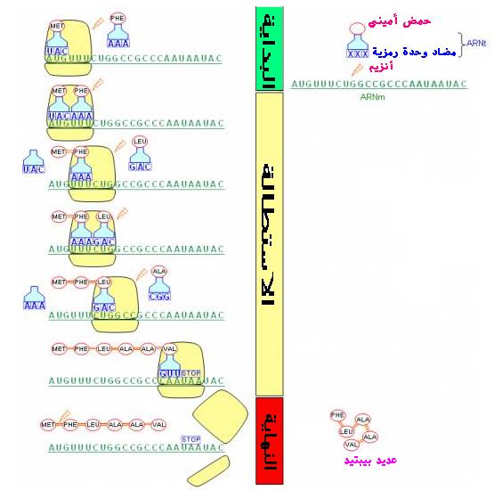 """دراسة الخبر الوراثي """"د4""""ج2"""" Elongation"""