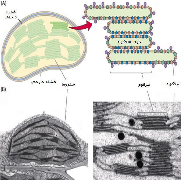 إنتاج المادة العضوية من طرف النباتات PLASTESTRUCT