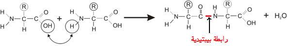 إنتاج المادة العضوية من طرف النباتات PROTphotos3