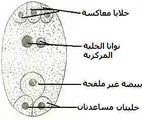 التوالد عند النباتات EMBRYOCAS