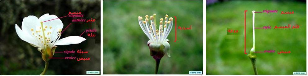 التوالد الجنسي عند النباتات الزهرية FLOWERDISSECT