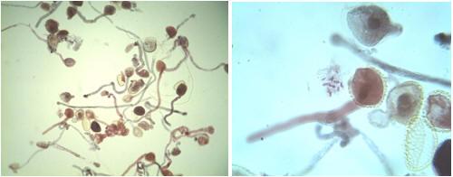 التوالد عند النباتات TUBPOLLGERM